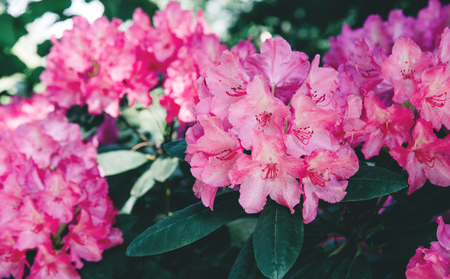 Photo pour Rhododendron flower pattern. - image libre de droit