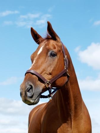 Photo pour A head shot of a chestnut horse against the sky - image libre de droit