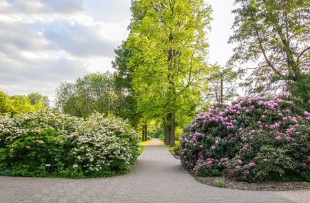 Photo pour Beautiful landscape with rhododendron plants in bloom in spring park. - image libre de droit