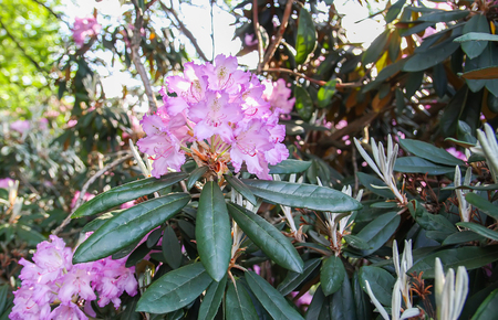 Photo pour Rhododendron plant fragrant beautiful flowers blooming in spring park. - image libre de droit