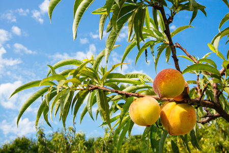 Photo for Sweet peach fruits growing on a peach tree branch - Royalty Free Image