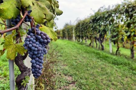 Photo pour merlot grapes on the vine - image libre de droit