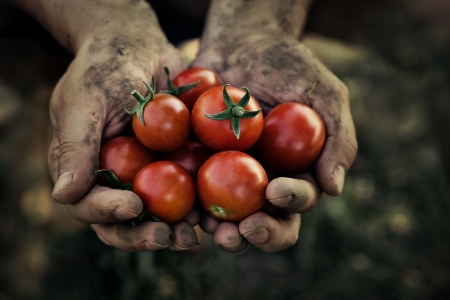 Photo pour Tomato harvest  Farmers hands with freshly harvested tomatoes  - image libre de droit