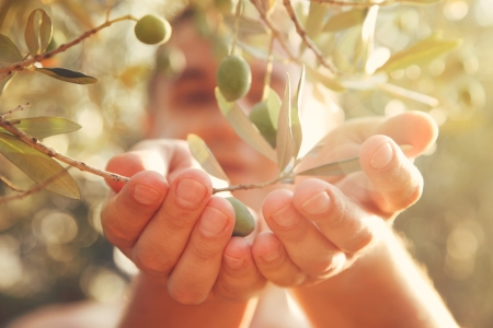 Photo for Farmer is harvesting and picking olives on olive farm  Gardener in Olive garden harvest - Royalty Free Image