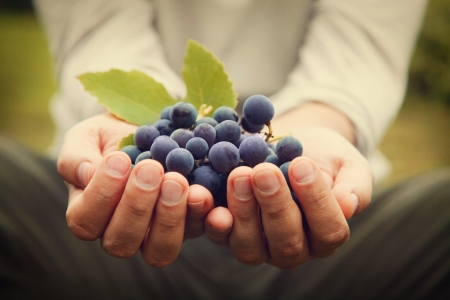 Photo pour Grapes harvest. Farmers hands with freshly harvested black grapes. - image libre de droit