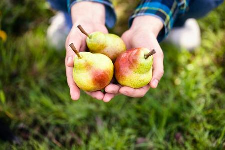Photo pour Organic fruit. Healthy food. Fresh pear in farmers hands - image libre de droit