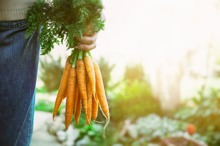 Foto de Organic vegetables. Healthy food. Fresh organic carrots in farmers hands - Imagen libre de derechos