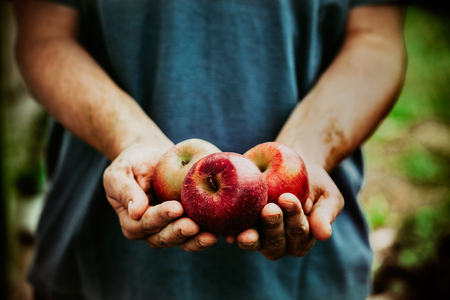 Foto de Organic fruit and vegetables. Farmers hands with freshly harvested apples. - Imagen libre de derechos