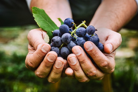 Photo for Grapes harvest. Farmers hands with freshly harvested black grapes. - Royalty Free Image