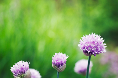Photo for Fresh chives flower over colorful background. Spring or summer floral background - Royalty Free Image