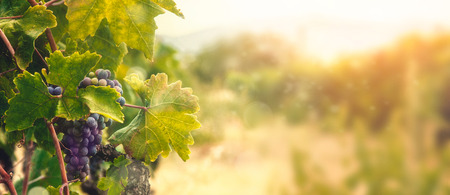 Foto de Nature background with Vineyard in autumn harvest. Ripe grapes in fall. - Imagen libre de derechos