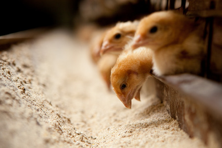 Photo pour chicks feed on the farm - image libre de droit