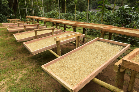 Photo pour Coffee beans dried in the sun, Coffee beans raked out for drying prior to roasting - image libre de droit