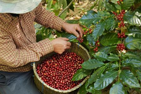 Foto de Close up of red berries coffee beans on agriculturist hand - Imagen libre de derechos