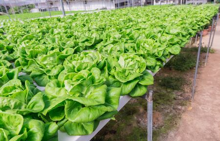 Hydroponic vegetable planting in greenhouse at Cameron Highlands