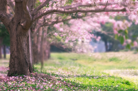 Photo for The romantic of pink flower tree, Pink trumpet tree. - Royalty Free Image