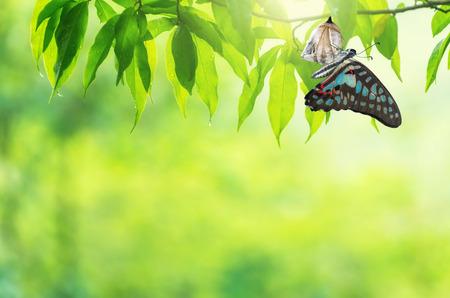 Photo pour Amazing moment about butterfly change form chrysalis. - image libre de droit