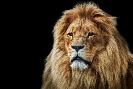 Foto de Lion portrait on black background  Big adult lion with rich mane  - Imagen libre de derechos