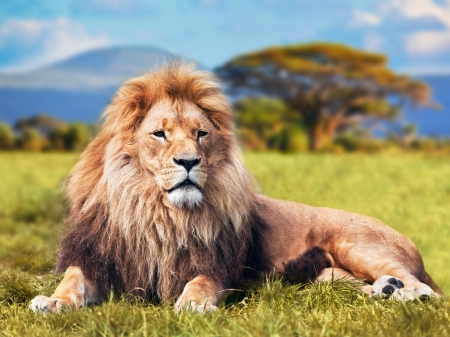 Foto de Big lion lying on savannah grass. Landscape with characteristic trees on the plain and hills in the background - Imagen libre de derechos