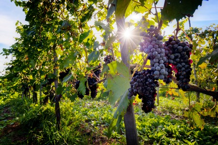 Photo for Ripe wine grapes on vines in Tuscany, Italy. Sun shining through leaves - Royalty Free Image
