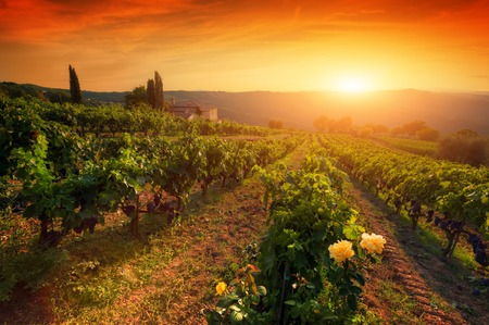 Photo for Ripe wine grapes on vines in Tuscany, Italy. Picturesque vineyard wine farm. Sunset warm light - Royalty Free Image