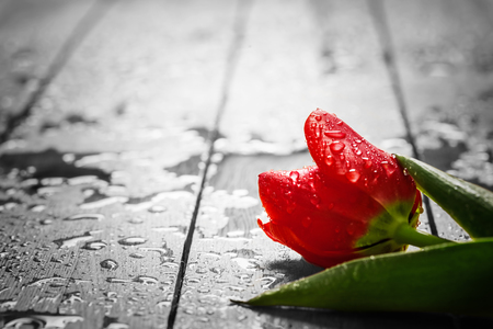 Photo pour Fresh red tulip flower on wood. Wet, morning dew. Spring concept of romantic love, Valentine's Day, but may also be heartbreak - image libre de droit
