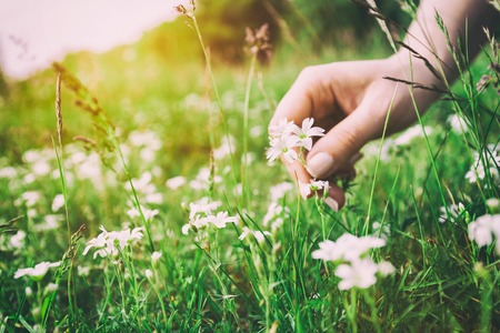 Photo for Woman picking up flowers on a meadow, hand close-up. Morning light, green grass. Vintage - Royalty Free Image