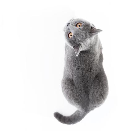 Foto de British Shorthair cat isolated on white. Lying, top view - Imagen libre de derechos