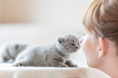 Foto de Cute fluffy kitten and woman rubbing noses. Human and animal bonding together. British shorthair cat. - Imagen libre de derechos