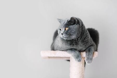 Foto de Grey furry cat laying on the top of the scratcher, looking aside. Domestic animal. British shorthair. - Imagen libre de derechos