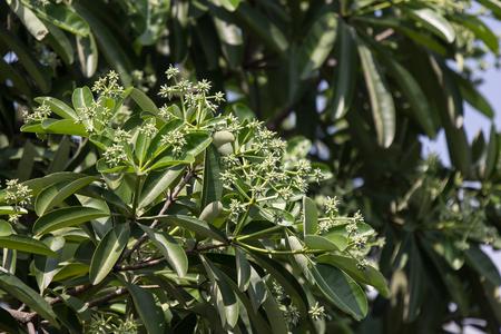 Foto per Green Flower of Blackboard Tree or Devil Tree - Immagine Royalty Free