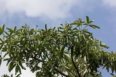 Foto per Black Flower of Blackboard Tree or Devil Tree after heavy rain - Immagine Royalty Free