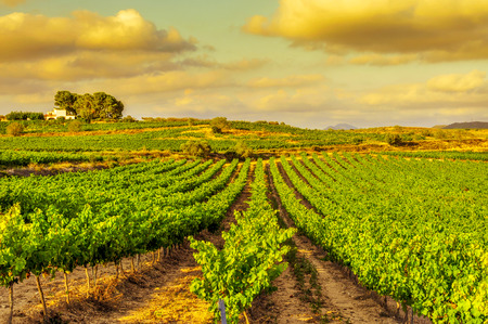 Photo pour view of a vineyard with ripe grapes in a mediterranean country at sunset - image libre de droit