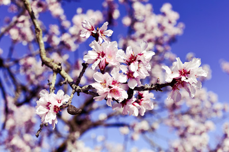 Photo for closeup of the branch of an almond tree in full bloom, with many nice pink flowers - Royalty Free Image
