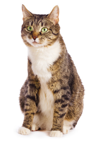 Photo for european cat isolated  on white background - Royalty Free Image