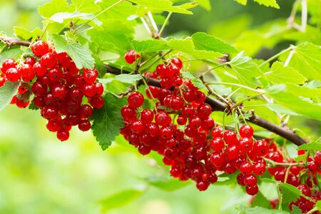 Photo for branch of ripe red currant in a garden on green background - Royalty Free Image