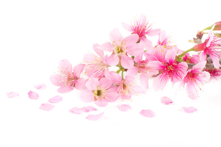 Photo pour Pink Cherry blossom, sakura flowers on white background - image libre de droit