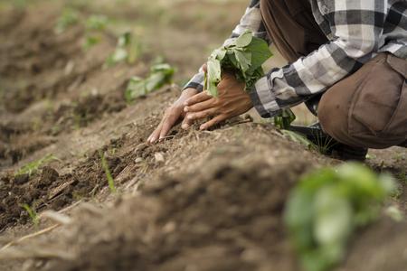 Foto de Farmer planting sweet potato in cultivated land - Imagen libre de derechos