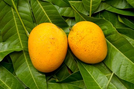 Harvest Mango fruit on tropical green leaf background at organic farm