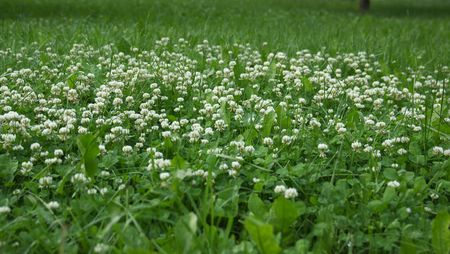 White clover flowers on the green lawn.