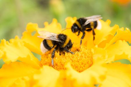 Foto de two bumblebees on a yellow flower collects pollen, selective focus, nature background - Imagen libre de derechos