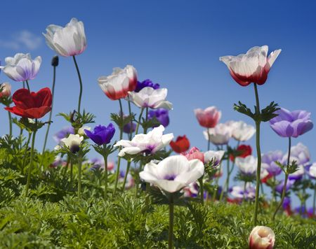 white red and purple Poppy Anemone in the field