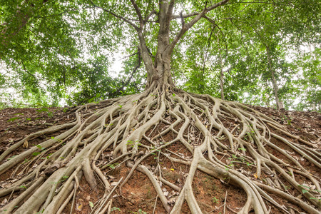 Photo pour The roots of the banyan tree, which appeared on the ground. - image libre de droit