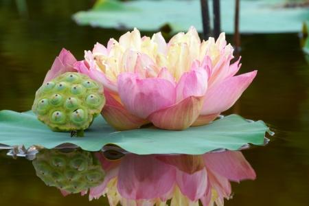 Foto de Beautiful lotus flower  - Imagen libre de derechos