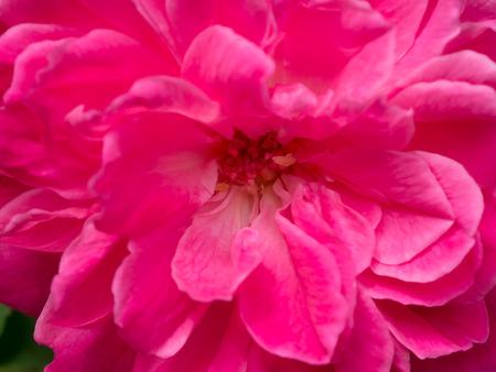 Photo for Close up Dark pink of Damask Rose flower background. (Rosa damascena) - Royalty Free Image