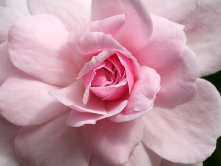 Photo for Close up pink of Damask Rose flower. (Rosa damascena) - Royalty Free Image