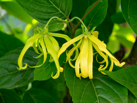 Photo for Close up of Dwarf Ylang-Ylang flower with leaves. (Cananga fruticosa) - Royalty Free Image