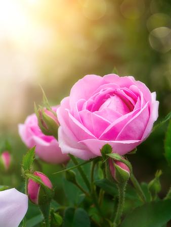 Photo for Pink of Damask Rose flower with sunlight. (Rosa damascena) - Royalty Free Image