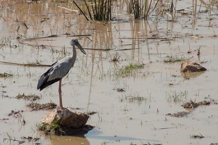 Foto de Asian Openbill bird stand on stone. (Anastomus oscitans) - Imagen libre de derechos