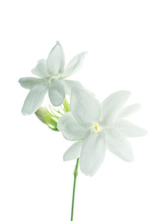 Foto de Close up of white jasmine flower isolate on white background. - Imagen libre de derechos